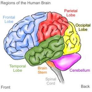 brain witelson