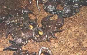 Empore Scorpions